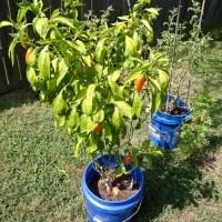 2020 Garden Chronicles #8 - Peppers A-Plenty
