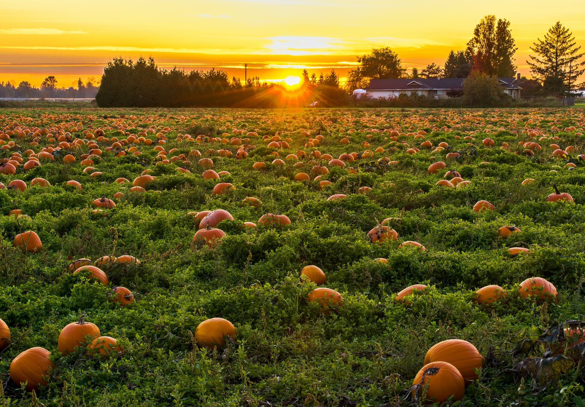 photo of field full of pumpkins